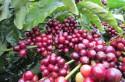 Cà phê đặc sản Cavi